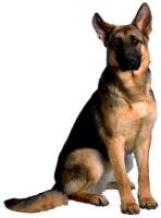 Kibbles Mill German Shepherd Dog