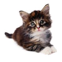 Kibbles Mill Kitten
