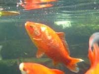 Kibbles Mill Pond Fish 4