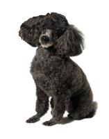 Kibbles Mill Poodle