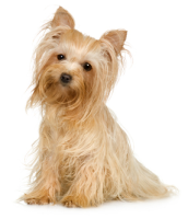 Kibbles Mill Yourkshire Terrier